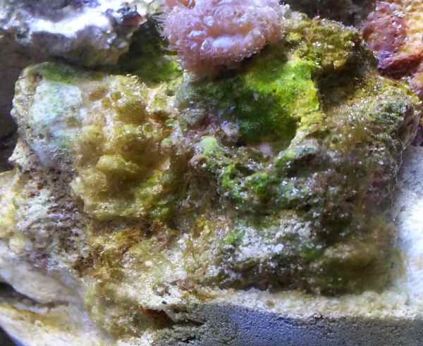 Blastomussa Rock With Algae