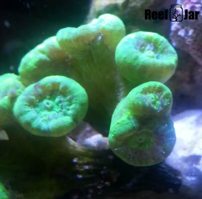 Candy Cane Coral Growth