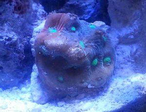 war coral octo damage
